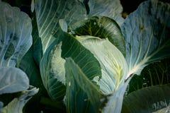 Organisk kål i trädgården Arkivfoto