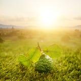 Organisk kaffirlimefrukt på grön gräsmatta med soluppgång Royaltyfri Fotografi