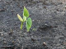 Organisk löpare Bean Seedling royaltyfria foton