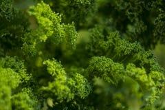 Organisk lockig grönkål arkivbilder
