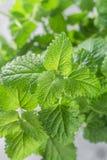 Organisk Melissa Ny citronbalsam görar grön kryddigt royaltyfri bild