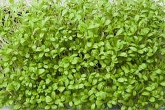 Organisk mikro-gräsplan - bakgrund Microgreen royaltyfria bilder