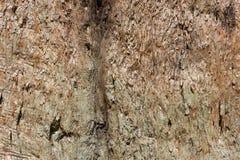 Organisk modell, textur för trädskäll, jätte- sequoia Arkivfoton