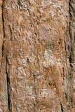 Organisk modell, textur för trädskäll, jätte- sequoia arkivbilder