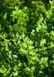 Organisk ny Parsley i en trädgård Arkivfoto
