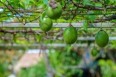 Organisk passionfrukt Fotografering för Bildbyråer