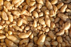 Organisk potatis royaltyfria foton