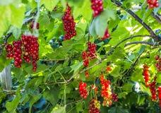 organisk red för vinbär Royaltyfri Fotografi