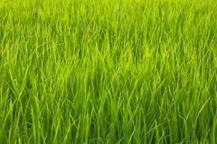 Organisk risfält med daggdroppar Arkivfoton