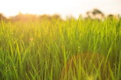 Organisk risfält med daggdroppar Arkivfoto