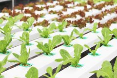 Organisk sallad från hydrokultur med vätskejord i Icke-jord vatten på den organiska lantgården royaltyfria bilder