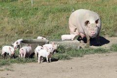 Organisk sugga med piglets Royaltyfri Foto