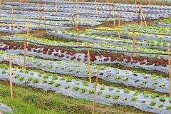 organisk täppagrönsak Royaltyfri Bild