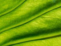Organisk textur för grönt blad med åder och den lilla förtjänade åder i modell- eller abstrakt begreppformen som används som bakg Fotografering för Bildbyråer