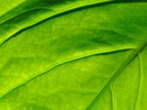 Organisk textur för grönt blad med åder och den lilla förtjänade åder i modell- eller abstrakt begreppformen som används som bakg Arkivbilder