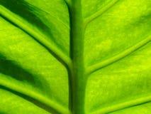 Organisk textur för grönt blad med midriben, åder och den lilla förtjänade åder i modell- eller abstrakt begreppformen som använd Arkivfoto