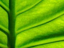 Organisk textur för grönt blad med midriben, åder och den lilla förtjänade åder i modell- eller abstrakt begreppformen som använd Arkivbild