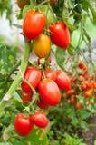 organisk tomat Royaltyfria Bilder