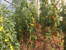 Organisk tomatkolonisommar 2017 i stenungsund Sverige Arkivbild