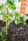 Organisk tomatväxt Royaltyfria Bilder