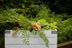 Organisk trädgårds- skörd fotografering för bildbyråer