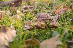 Organisk valnöt- och hasselnötmatnatur royaltyfri foto
