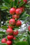 organiska äpplen Fotografering för Bildbyråer