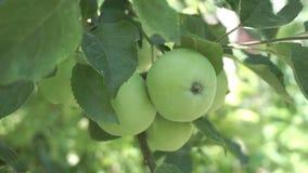 Organiska äpplen för farmorsmed på ett träd stock video