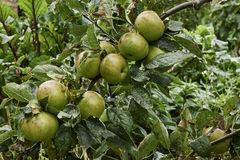 Organiska äpplen för filial Royaltyfria Bilder
