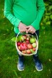Organiska äpplen i en korg royaltyfri bild