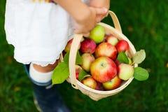 Organiska äpplen i en korg arkivbilder