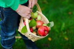 Organiska äpplen i en korg royaltyfria foton