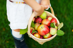 Organiska äpplen i en korg Royaltyfria Bilder