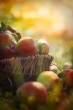 Organiska äpplen i sommargräs royaltyfri bild