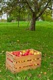 Organiska äpplen i korgen arkivfoton