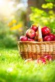 Organiska äpplen i korgen. Fruktträdgård Arkivfoto