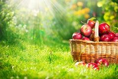 Organiska äpplen i korgen. Fruktträdgård Royaltyfri Bild