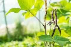 Organiska bönaskördar Fotografering för Bildbyråer