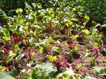 Organiska beta som planteras nytt i en trädgårds- säng i sommar Royaltyfria Foton
