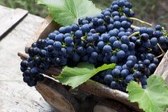 Organiska blåa druvor i träask royaltyfria foton