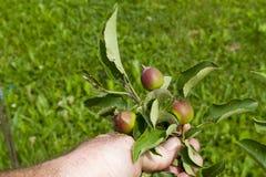Organiska bondeChecking His Young äpplen Royaltyfri Fotografi