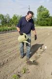 Organiska bondeWatering Some Cabbage växter Royaltyfri Foto