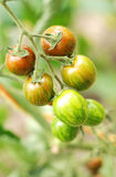 Organiska Cherrytomater på vinen Royaltyfri Fotografi