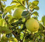 Organiska citroner i trädet, tid för skörden, Limassol Cypern royaltyfri foto