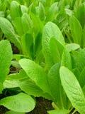 organiska grönsaker Royaltyfri Fotografi