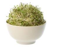 organiska groddar för alfalfa arkivfoto