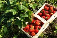 organiska jordgubbar för fält Royaltyfri Fotografi