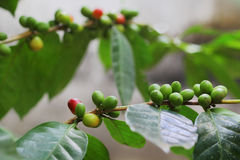 Organiska kaffebönor från Kerala, Indien Arkivfoto