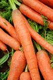 organiska morötter Royaltyfri Foto