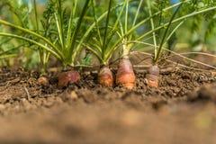 organiska morötter Växa för morot Arkivbild